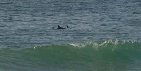 Dolphins Near The Surf Line